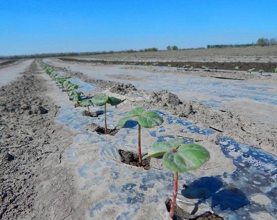 昌吉市22万亩优质棉花出苗长势喜人