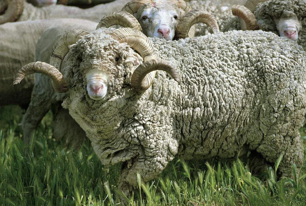 美利奴羊毛优缺点有哪些?