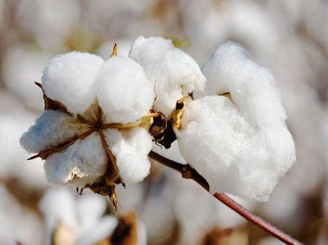 7月12日储备棉轮出成交率54% 新疆棉全部成交